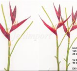 HELIKONIA 121 CM DK.RED-FRSH TOUCH