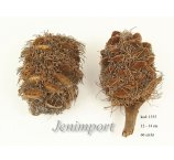BANKSIA SPECIOSA CONE 12-14 CM WITH HAIR